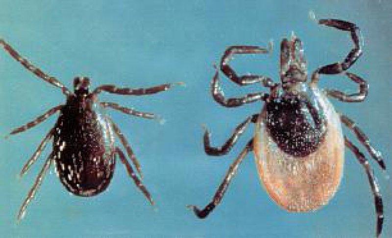Die Zecke Ixodes ricinus – auch Holzbock genannt. Links ein männliches, rechts ein weibliches Tier Foto: Siegfried Hoc