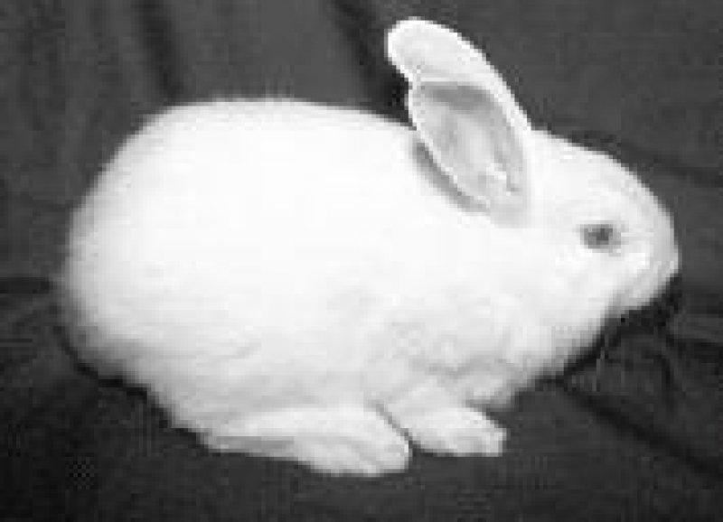 Das klonierte Kaninchen ist gesund und fortpflanzungsfähig. Foto: BioProtein Technologies