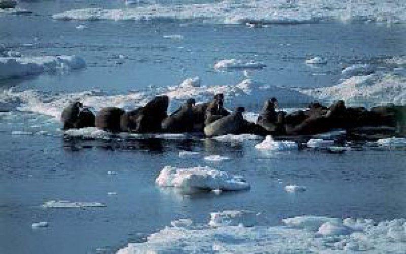 Tschuktschensee: Walrosskolonie; Foto links oben: Alaska/Little Diomed: Besuch bei den Eskimos Fotos: Renate V. Scheiper