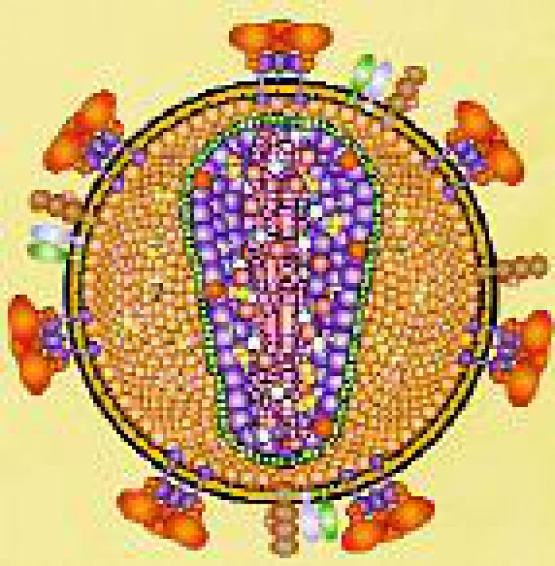 HIV schleust sich über CD4- und CCR5-Rezeptoren in die Wirtszelle ein. Foto: Archiv