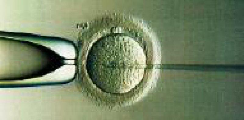 Bei der PID werden außerhalb des Mutterleibes befruchtete Eizellen (hier: Intra-Cytoplasmatische Spermien-Injektion) genetisch untersucht. Foto: dpa