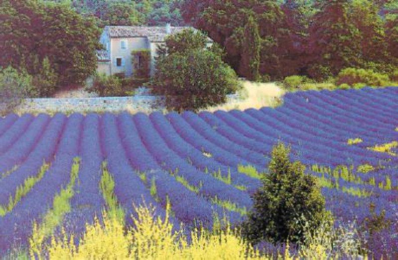 blühende Lavendelfelder in der Provence Fotos: Mondial Tours GmbH