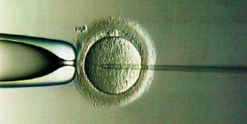 Bei der PID werden außerhalb des Mutterleibes befruchtete Eizellen (hier: Intra-Cytoplasmatische Spermien-Injektion) genetisch untersucht.