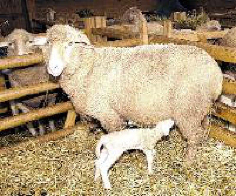 Bei Paarhufern wie Schafen grassiert Coxiella burnetii als Zoonose. Menschen infizieren sich über erregerhaltigen Staub. Foto: ddp