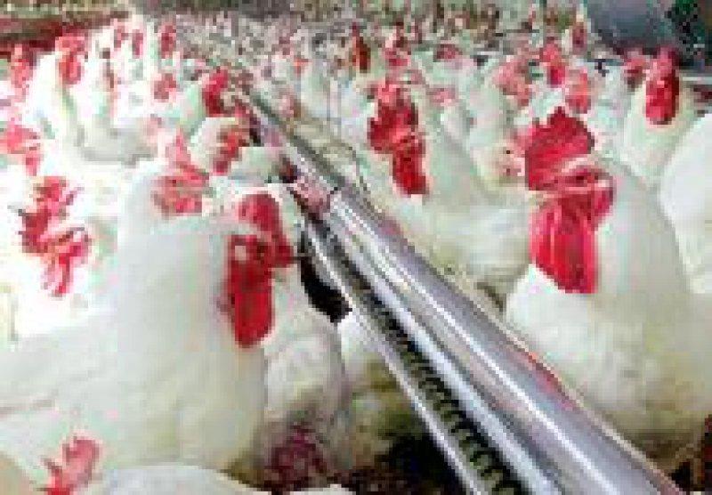 Noch immer werden in der Tierhaltung Antibiotika nur prophylaktisch eingesetzt. Foto: dpa