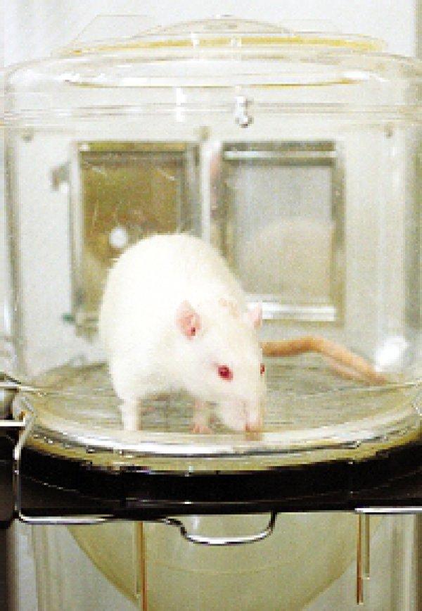 Mäuse und Ratten werden mit Abstand am häufigsten für Tierversuche eingesetzt. Foto: Caro