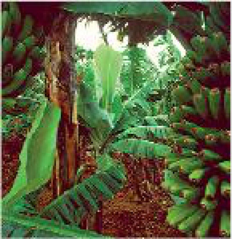 Im subtropischen Klima entlang der Küste gedeihen Bananen. Fotos (2): Tenerife Tourism Corp.