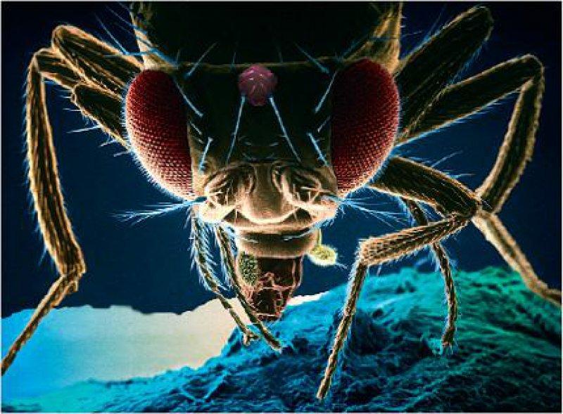Die Fruchtfliege Drosophila ist ein Universalmodell für die Biologie: Proteine, die die Embryonalentwicklung und Infektabwehr bei dem Insekt steuern, findet man in ähnlicher Form auch beim Menschen. Sie erhielten den Namen Tolllike- Rezeptoren (TLR). Zehn unterschiedliche TLR wurden bisher im humanen System entdeckt. Foto: picture-alliance/OKAPIA KG