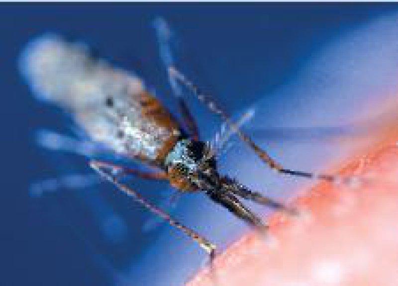 Anopheles- Mücke: Gefährliche Überträgerin von Tropenkrankheiten. Foto: dpa