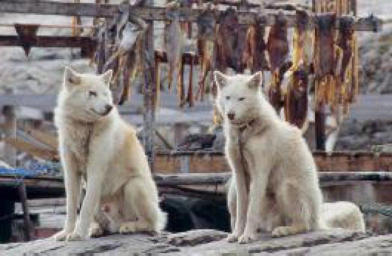Zu Dutzenden liegen sie vor jeder Hütte: Schlittenhunde sind im Sommer ständig angekettet. Fotos: Roland Motz