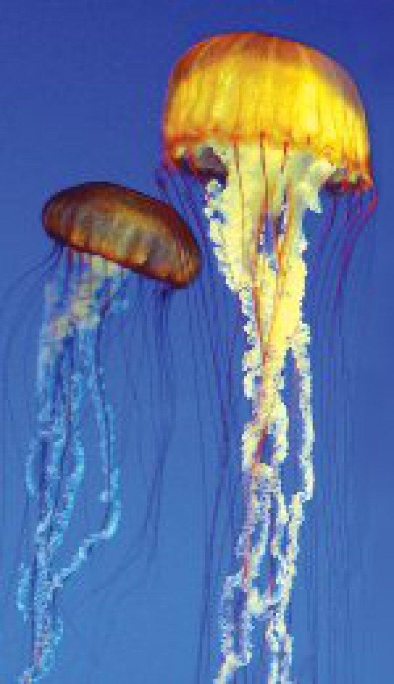 Feuerquallen sind maximal 30 Zentimeter groß, haben aber meterlange Fangfäden. Foto: Superbild