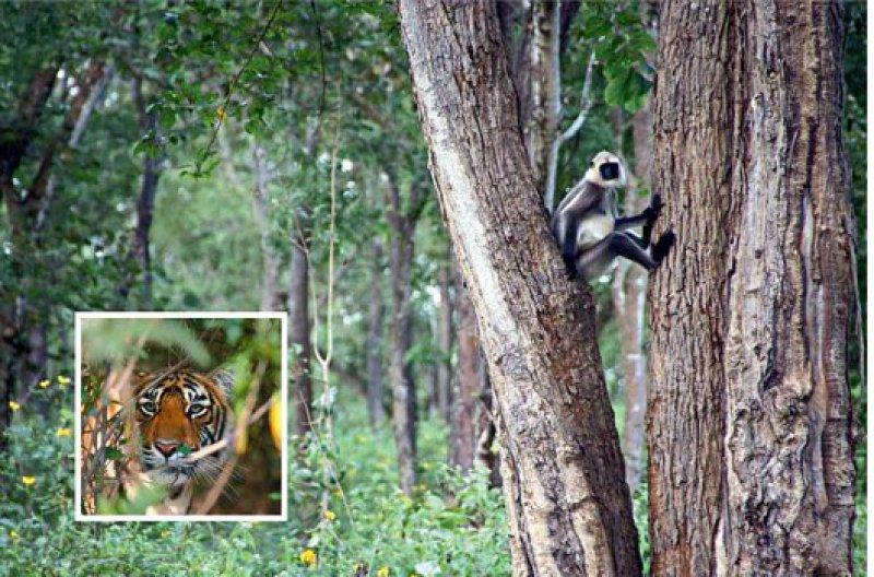 In den Bäumen an der Piste durch den Urwald verabreden sich die Affen zur Menschenbeobachtung, doch die Tiger machen sich rar. Fotos: Helge Sobik, Indisches Fremdesverkehrsamt