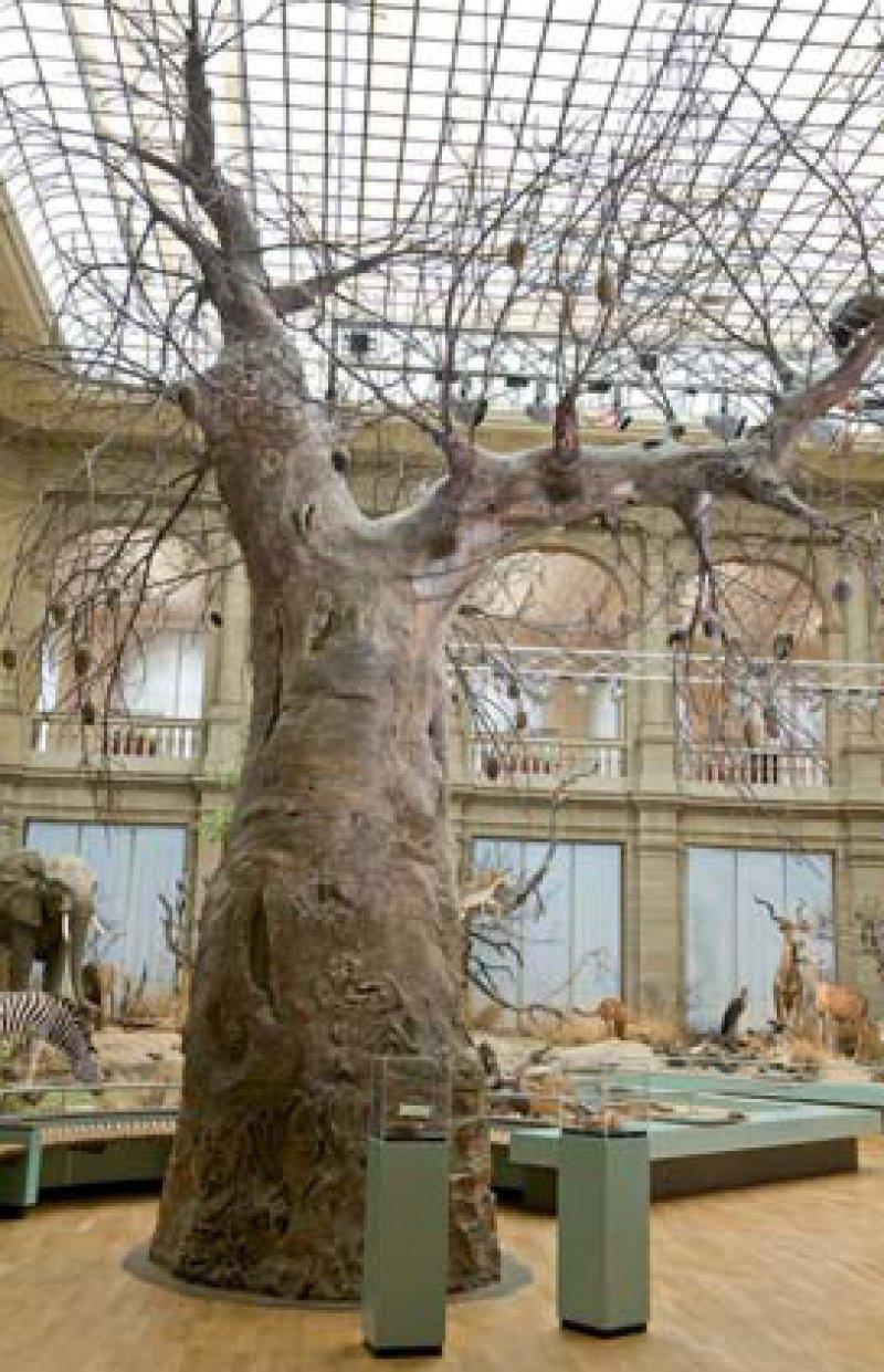 Als zentraler Bestandteil der Savannenlandschaft reckt sich der Affenbrotbaum im Lichthof des Museums gen Himmel.