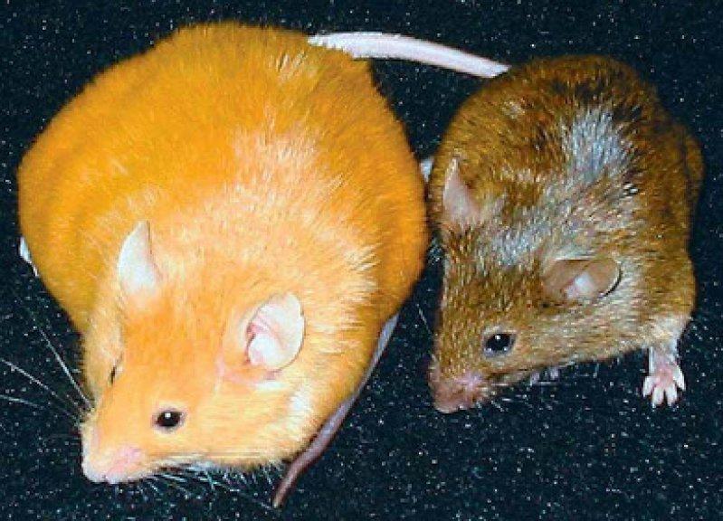 Berühmte Mäuse: Die gelbe (kranke) und die braune (gesunde) Agouti-Maus sind das Paradebeispiel für epigenetische Veränderungen, die durch Nahrung induziert werden können. Foto: Randy L. Jirtle, University of Wisconsin-Madison