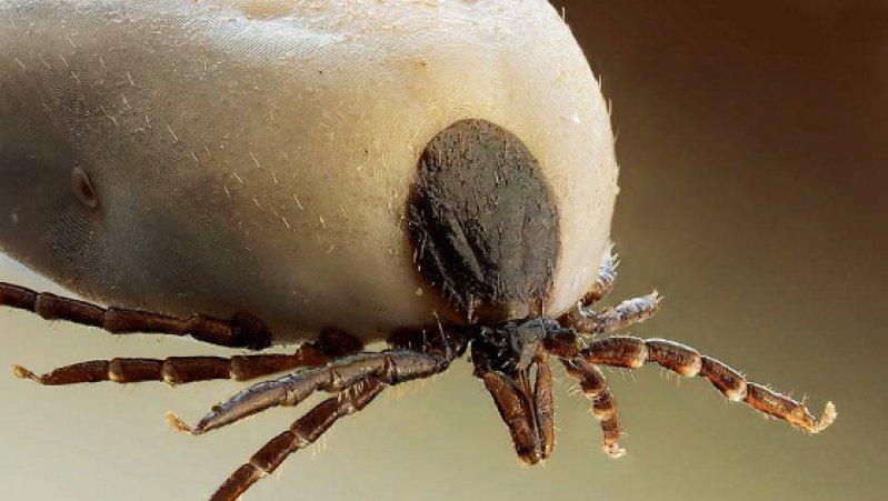 Ixodes ricinus wird zwischen 2,5 und 4,5 Millimeter groß. Im untersten Segment seines vordersten Beinpaars misst ein Chemorezeptor (Haller-Organ) die Spuren eines möglichen Wirts, wie Kohlendioxid oder Ammoniak. Foto: Wikipedia/Richard Bartz