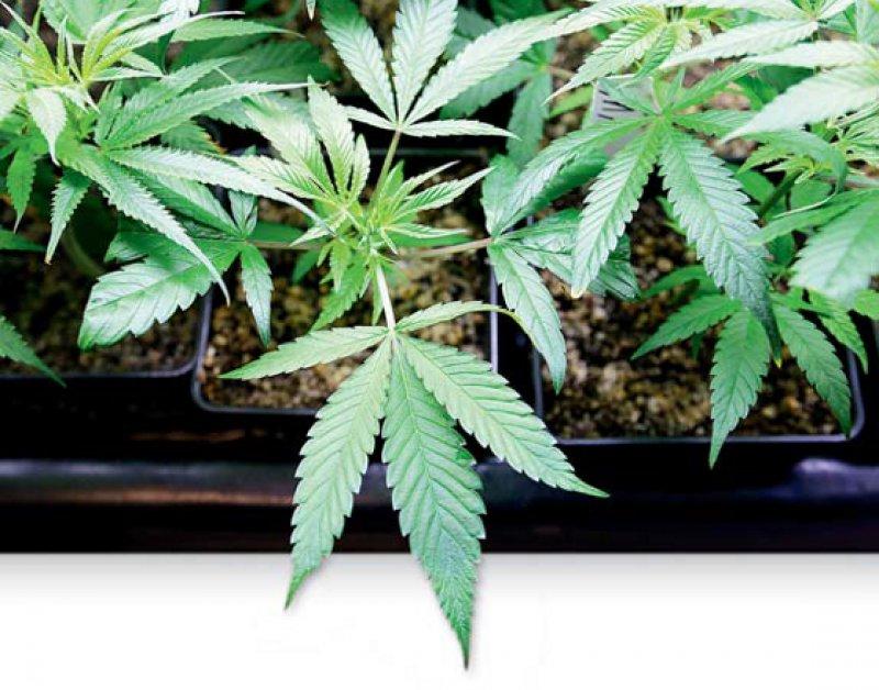 In drei Fällen hat das Kölner Verwaltungsgericht den Klagen gegen das Anbauverbot von Cannabis stattgegeben. Foto: picture alliance