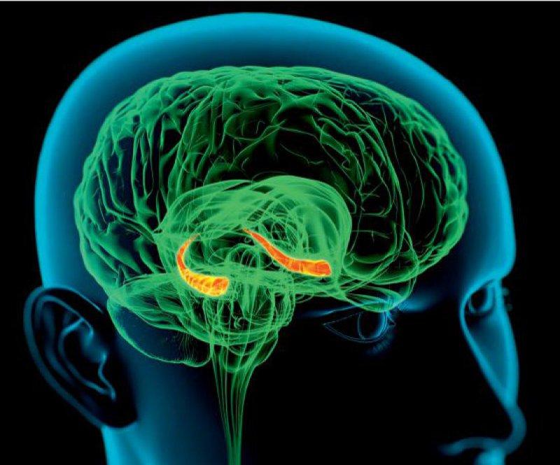 Computergrafik des Kopfes. Der hell markierte Bereich zeigt den Hippocampus, eingebunden in das Lernen und die Bildung von Erinnerungen. Foto: SPL/Agentur Focus