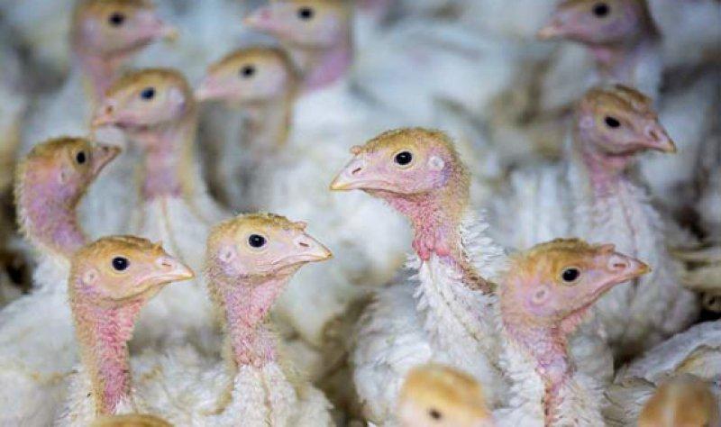 Aviärer Influenzavirus: Geflügelhalter sollen bei den Tieren auf Krankheitsanzeichen achten. Foto: dpa