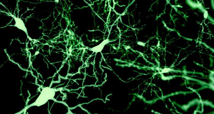 Neuroplastizität: Gabapentin fördert Erholung von Mäusen nach Querschnittlähmung