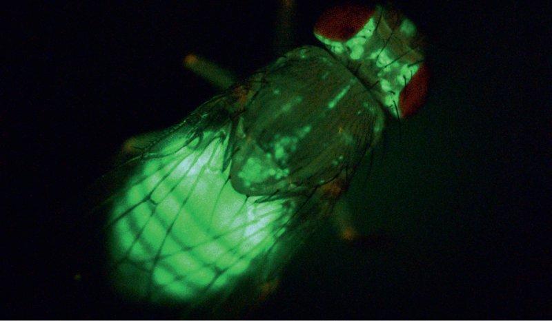 """An Fliegen lässt sich der Energiestoffwechsel gut erforschen. Hier wird das Körperfett der Fliege durch das fluoreszierende Protein GFP (""""green fluorescent protein"""") sichtbar gemacht. Foto: Teleman/DKFZ"""