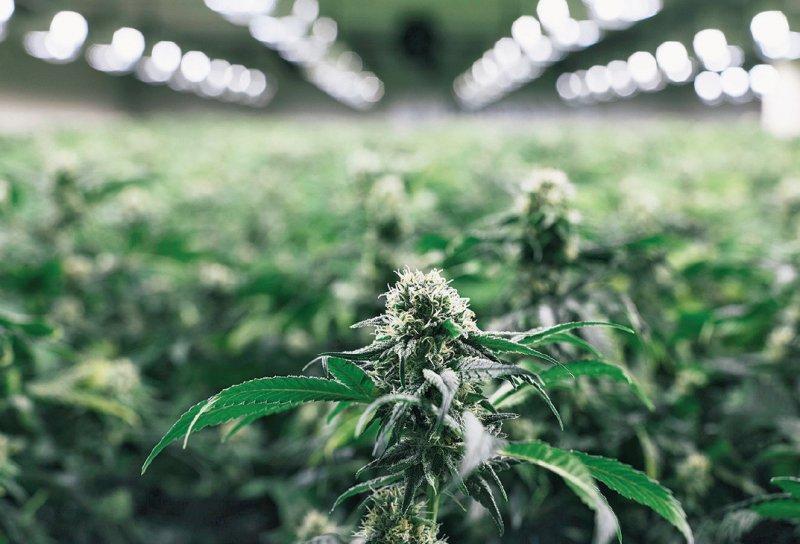 Derzeit wird Cannabis noch ausschließlich aus dem Ausland nach Deutschland importiert. Foto: dpa