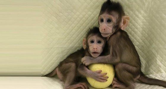 Vor 9 und 7 Wochen kamen die ersten Klonaffen Zhong Zhong (rechts) und Hua Hua (links) zur Welt. Ihr Erbgut ist identisch. /dpa