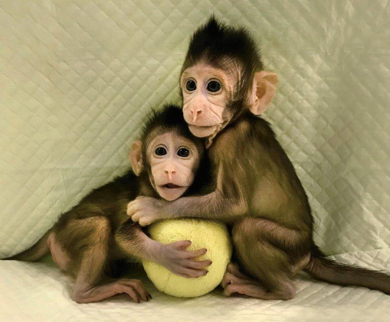 Die chinesischen Forscher erzeugten 109 SCNT-Embryonen, von denen sie 79 in 21 Javaneraffen als Leihmütter einsetzten. Von sechs nachgewiesenen Schwangerschaften führten zwei zu Lebendgeburten: Zhong Zhong und Hua Hua kamen Ende 2017 zur Welt. Foto: Qiang Sun and Mu-ming Poo Chinese Academy of Sciences