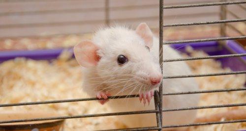 Ratte als Haustier überträgt seltenes Hantavirus in niedersächsischer Kleinstadt