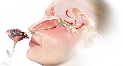 Studie: Geruchsverlust bei COVID-19-Patienten könnte auf persistierende Viren hindeuten