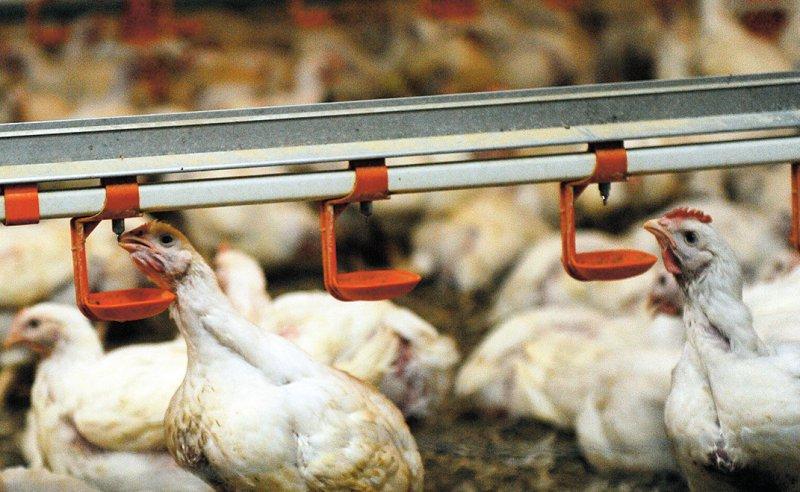 In der Geflügelzucht werden immer noch viele Reserveantibiotika eingesetzt. Foto: dpa