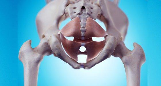 medizinisch genaue Darstellung der Beckenbodenmuskulatur  /Sebastian Kaulitzki adobe.stock.com