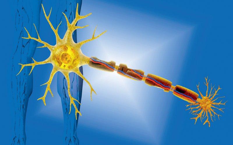 Pathophysiologisch wird unterschieden zwischen Noxen, die primär die Nervenzelle (Motoneuron oder Spinalganglienneuron) angreifen, und solchen, die Prozesse in der Nervenfaser (Axon und Schwann-Zelle) stören. Foto: Science Photo Library_Carol and Mike Werner