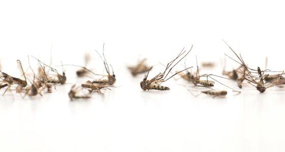 Tote Mücken auf weißem Hintergrund. /abimagestudio, AdobeStock.com