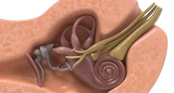3D Ansicht eines Innenohrs mit Cochlea /3drenderings stock.adobe.com