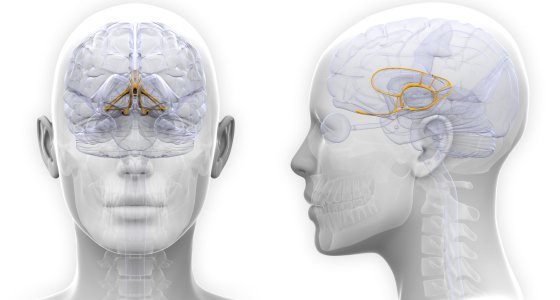 Female Limbic System Brain Anatomy/decade3d stock.adobe.com