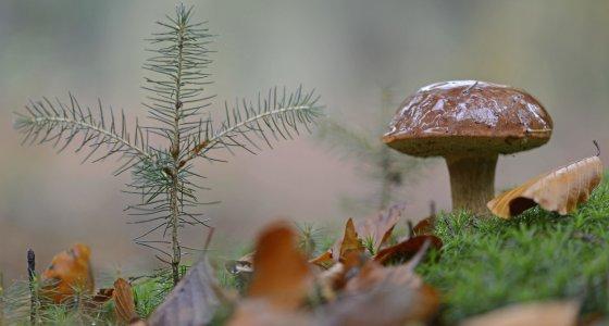 Maronen-Röhrlinge gehören zu den Wildpilzen, bei denen immer noch eine hohe Belastung mit radioaktivem Cäsium nachweisbar ist. /picture alliance