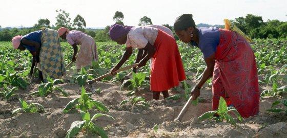 Auf einer Tabakfarmen (hier: in Simbabawe) arbeiten oft nicht nur Erwachsene, sondern auch Kinder. /picture alliance