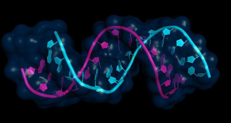 Antisense-Oligonukleotide sind kurze, einzelsträngige Nukleinsäuren (pink), die an passende m-RNAs (blau) binden können und so die Biosynthese des kodierten Proteins verhindern. /petarg, stock.adobe.com